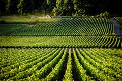 Vigne nei les Beaune di Savigny, vicino a Beaune, Borgogna, Francia Fotografia Stock