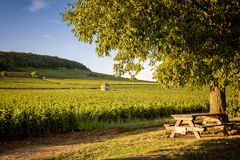 Vigne nei les Beaune di Savigny, vicino a Beaune, Borgogna, Francia immagini stock