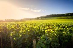 Vigne nei les Beaune di Savigny, vicino a Beaune, Borgogna, Francia fotografia stock libera da diritti