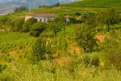 Vigne nel Duero River Valley fra Peso de Regua e Pinhao, Portogallo immagine stock libera da diritti