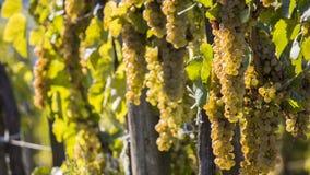 Vigne nel raccolto soleggiato di autunno Immagini Stock