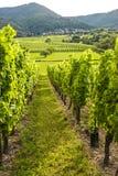 Vigne nell'Alsazia (Francia) Fotografie Stock