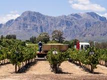 Vigne nella Provincia del Capo Occidentale, vicino a Franschhoek, il Sudafrica Immagine Stock Libera da Diritti