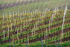 Vigne nella regione Palava, Moravia del sud, repubblica Ceca del vino, Immagini Stock