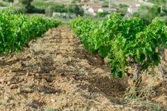Vigne, poca uva dei germogli, fotografie stock libere da diritti