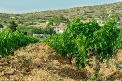 Vigne, poca uva dei germogli, fotografia stock