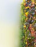 Vigne (primo piano dei fogli) Fotografia Stock