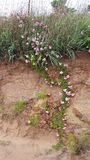Vigne rose sauvage ! Images libres de droits