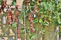 Vigne sèche et verte Photo stock