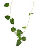 Vigne sauvage de feuille charnue en forme de coeur verte d'isolement sur le backg blanc Image libre de droits