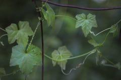 Vigne sauvage sur la clôture rurale rustique Photo stock