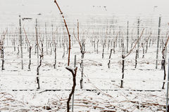 Vigne sotto neve nell'inverno a Giornico Immagini Stock Libere da Diritti