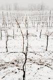 Vigne sotto neve nell'inverno a Giornico Fotografia Stock Libera da Diritti