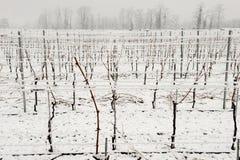 Vigne sotto neve nell'inverno a Giornico Fotografie Stock Libere da Diritti
