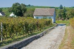Vigne su Sunny Day in Autumn Harvest Landscape con l'uva organica sui rami della vite e sulla piccola casa vinicola Fotografia Stock