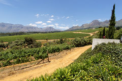 Vigne in Sudafrica Immagini Stock Libere da Diritti