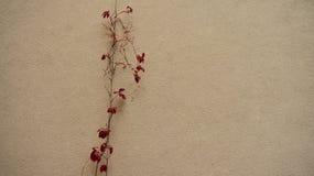 Vigne sur le mur Image stock