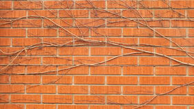 Vigne sur le mur de briques rouge Photos stock