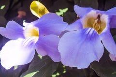 Vigne tropicale fleurissante pourpre Image stock