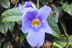 Vigne tropicale fleurissante pourpre d'Acanthaceae Photographie stock