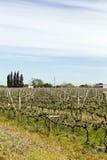 Vigne uruguaiane del vino. Fotografia Stock