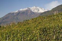Vigne in Valtellina Immagini Stock