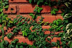 Vigne vers le haut de la brique brune Images libres de droits