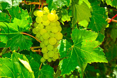 vigne verte de raisins Images stock