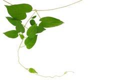 Vigne verte en forme de coeur de feuille d'isolement sur le fond blanc, clipp Photos stock