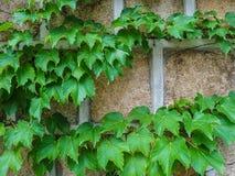 Vigne verte sur le vieux mur Images stock