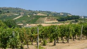 Vigne vicino Marche di Monterubbiano, ad Italia Immagini Stock Libere da Diritti
