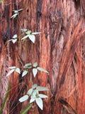vigne visqueuse d'écorce Image stock