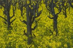 Vignes à l'ancienne Photographie stock libre de droits