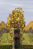 Vignes 03 d'automne Photographie stock libre de droits