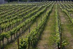 Vignes Image libre de droits