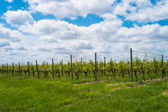 vignes Photographie stock