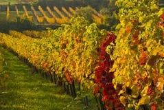 Vignes Images stock