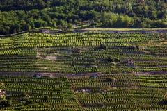 Vignes alpestres Photographie stock