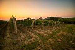 Vignes au coucher du soleil photos stock
