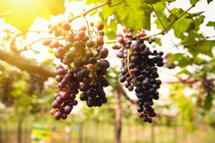 Vignes au coucher du soleil dans la moisson d'automne Images stock