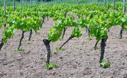 Vignes au printemps Images libres de droits