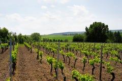Vignes au printemps Images stock