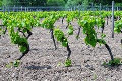Vignes au printemps Photo stock