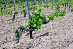 Vignes au printemps Image stock