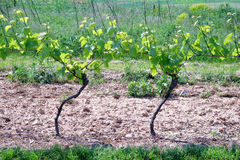 Vignes au printemps Photos stock