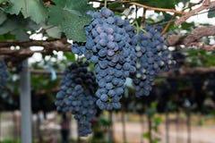 Vignes avec des groupes de raisins Photographie stock