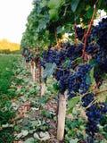 Vignes Bergerac zdjęcie royalty free