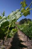 Vignes centrales de côte de la Californie en été Image libre de droits