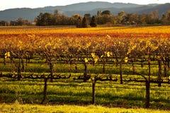 Vignes colorées de pays de vin Images libres de droits