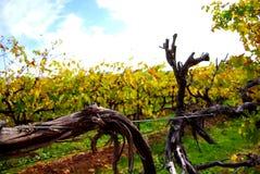 Vignes colorées, McLaren Vale Photo libre de droits